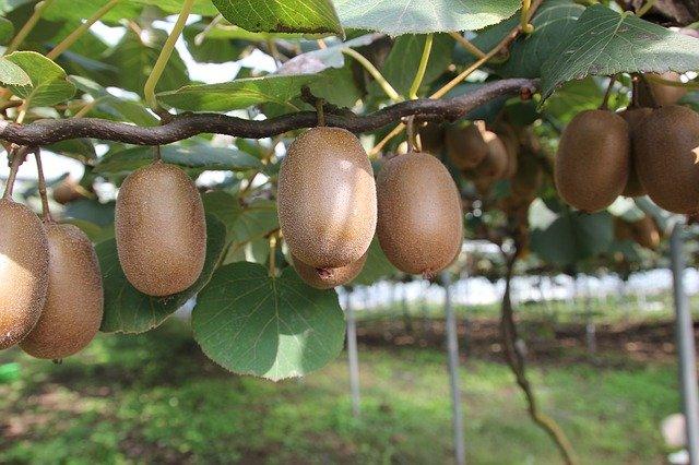 Kiwi fruit trees